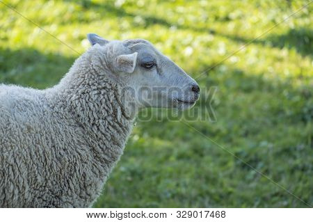 Closeup Of One Sheep Grazing In The Field