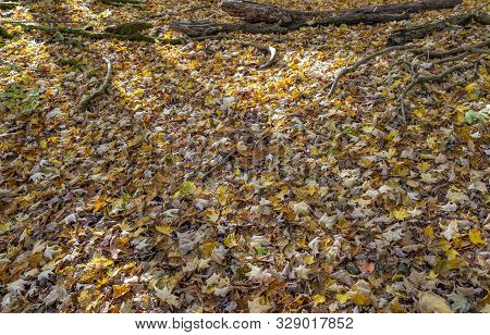 Forest Floor Covered With Fallen Fall Foliage