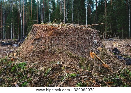 Coniferous Tree Stump. Deforestation For Timber For The Needs Of Industry. Environmental Problems Du