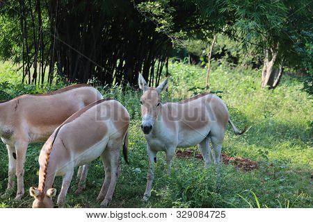 Indian Wild Ass Or Baluchi Wild Ass (equus Hemionus Khur) Also Called The Ghudkhur In The Local Guja
