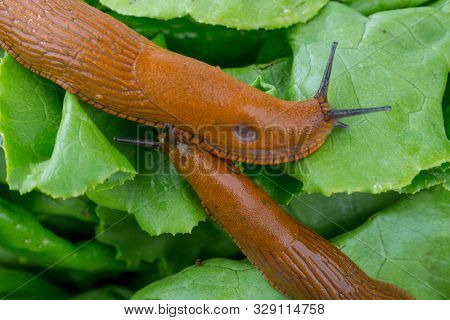 snail with lettuce green leaf