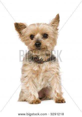 Yorkshire Terrier (10 Years)