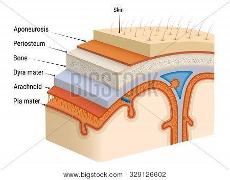 Inflammation Of The Meninges - Meningitis. Bacterial Inflammation Of The Soft Membrane Of The Human