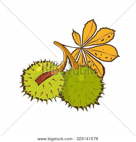 Сhestnuts Hand Drawn With Yellow Leaves Of Horse Chestnut Tree And Conkers In Shell. Vector Icon. Ca