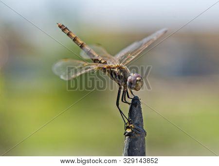 Closeup Macro Detail Of Wandering Glider Dragonfly Pantala Flavescens On Metal Fence Post
