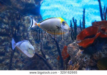 Saltwater Tropical Fish (naso Lituratus, Barcheek Unicornfish) In A Picturesque Aquarium