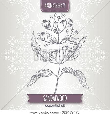Indian Sandalwood Aka Santalum Album Sketch On Elegant Lace Background.