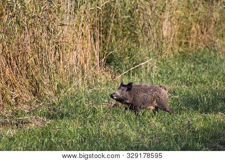 Wild Boar (sus Scrofa Ferus) Walking On Meadow In Front Of Reed. Wildlife In Natural Habitat
