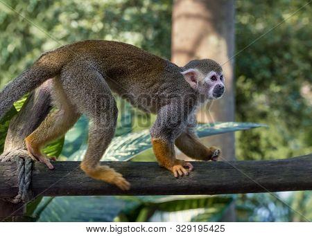 Common Squirrel Monkey, Saimiri Sciureus, A Species Of Squirrel Monkey From Guiana, Venezuela, Brazi