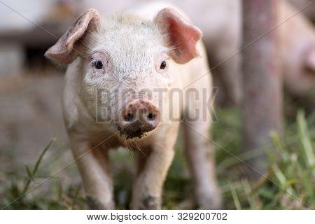 Animal Portrait Of Cute Little Piglet, Domestic Pig Breeding.