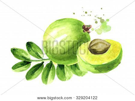 Amla Green Fruits With Leaves. Watercolor Hand Drawn Illustration, Isolated On White Background