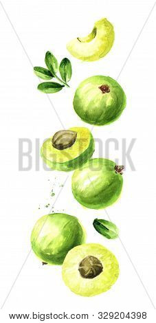 Falling Ripe Amla Berries, Vertical Composition. Watercolor Hand Drawn Illustration,  Isolated On Wh