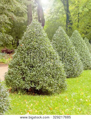 Pyramid Of The European Privet Ligustrum Vulgare, Deciduous Bushes Of The Privet Trimmed In The Shap
