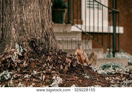 Adorable Fur Brown Squirrel Neat Large Tree. Posing To The Camera Squirrel. Climbing On Tree. Octobe