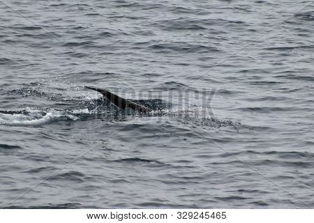 Wild Dolphin Harbour Porpoise (phocoena Phocoena) Diving In The Ocean. Tail Of Dolphin Is Visible On