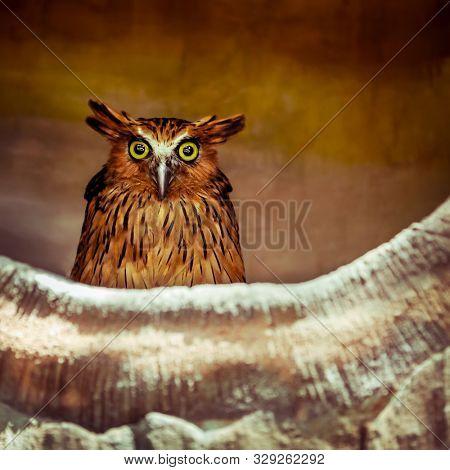 Closeup portrait of an owl at night, brown nocturnal bird with big eyes, safari park, Bali  poster