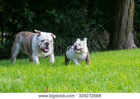 english bulldog puppies playing outside