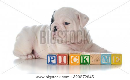 male English bulldog laying behind block words that say pick me isolated on white background