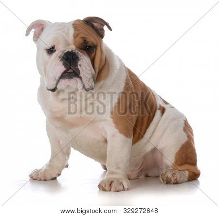 English bulldog sitting looking at viewer isolated on white background
