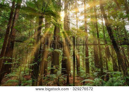 Burst Of Sunlight In The Lush Redwoods Whakarewarewa Forest In Rotorua