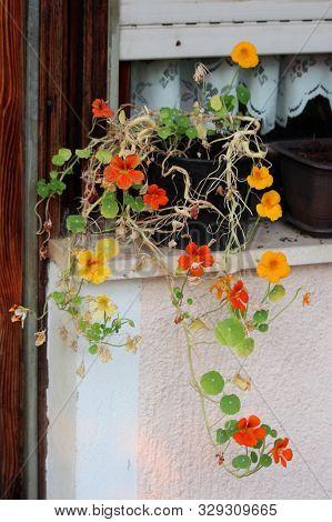 Partially Dried Garden Nasturtium Or Tropaeolum Majus Or Indian Cress Or Monks Cress Flowering Annua