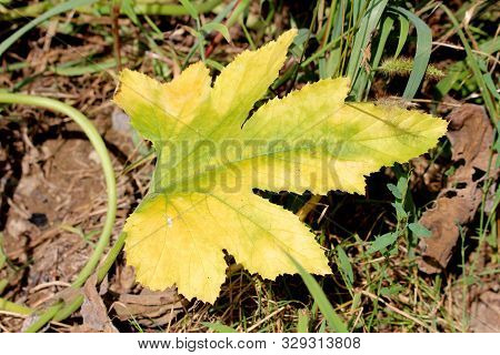 Yellow And Light Green Large Leathery Pumpkin Leaf Surrounded With Other Plants In Local Urban Garde