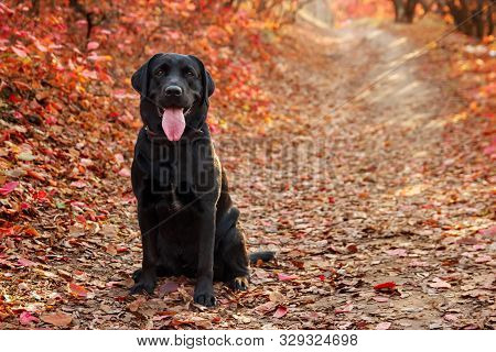 Beautiful Black Labrador Retriever Sitting Against An Autumnal Forest. Canine Background