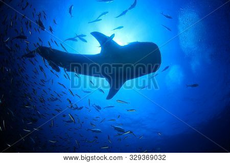 Whale Shark surrounded by fish
