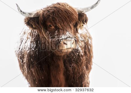 Scottish highland cow in snow