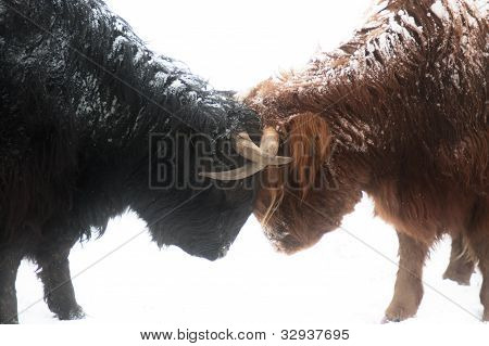 Scottish highland cows fighting in snow
