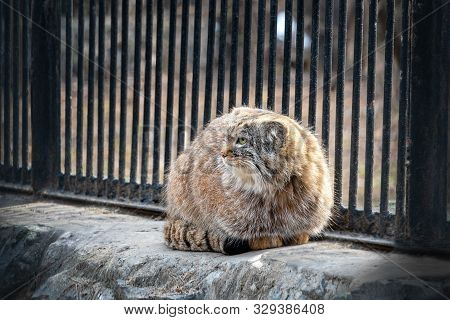 Manul Or Pallas Cat Is Also A Wild Cat. A Wild Cat Living In Central And Central Asia.