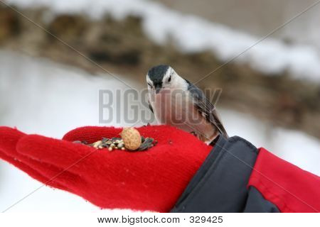 Close-up Of A Nuthatch Bird Feeding From A Hand