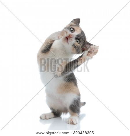 Lovely kitten playing and looking clumsy while standing on white studio background
