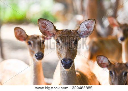 Eld's Deer Or Panolia Eldii , Thamin , Brow Antlered Deer In The Farm National Park