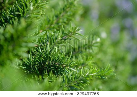 Bunch Of Fresh Rosemary Herb On The Blurred Background With Copy Space. Selective Focus On Green Ros