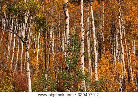 Row of Aspen trees in autumn time near Aspen, Colorado