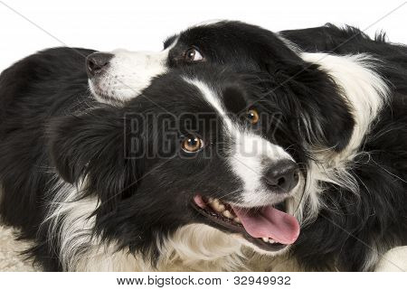 Two cute Border Collies interacting in front of white background