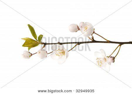 Beautiful white cherry blossom on white background