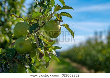 Close Up Of Organic Green Apples Granny Smith Hanging From Branch. Bright Sunny Apple Orchard Rows O