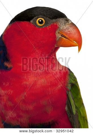 Close up of Black-capped Lory, Lorius lory, also known as Western Black-capped Lory or the Tricolored Lory, a parrot in front of white background