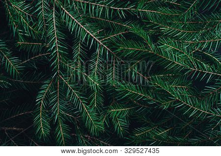 Green Pine, Fir-tree Branches Close Up Backdrop. Botanical Texture. Winter Holidays Coniferous Decor