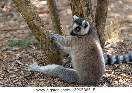 Lemur Catta (maki), Endemic Monkey Of Madagascar