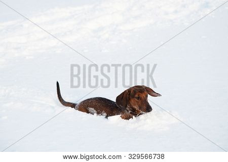 Young Red-haired Dachshund Runs And Plays With A Toy In Deep Snow In A Park, Red Dachshund In A Snow
