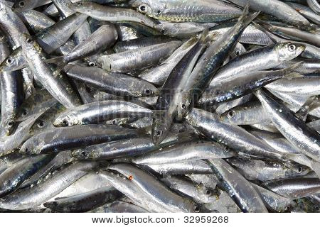 Fresh sardines from non poluted sea