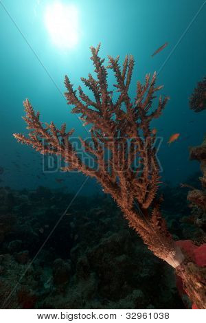 Acropora and sun in the Red Sea.