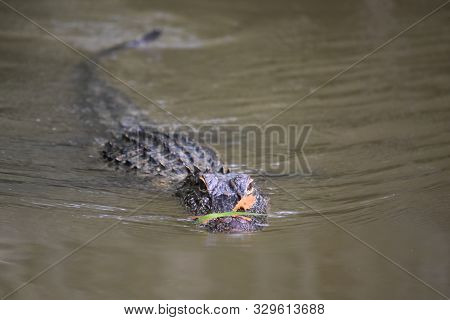 Stunning Moving Alligator With Leaves On His Snout.