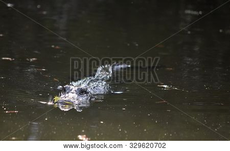 Gator Swimming Through The Shallow Swamp Waters In Southern Louisiana.