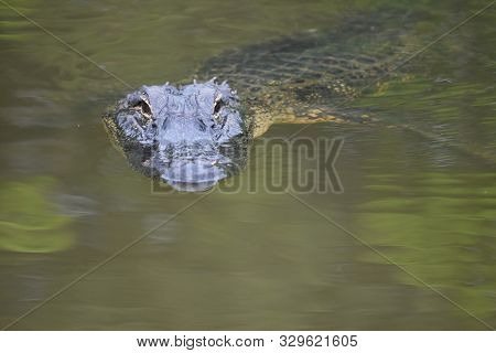 Looking Into The Face Of An Alligator In The Swamp.