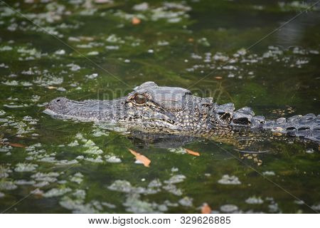 Profile Of A Swamp Alligator On A Beautiful Day.