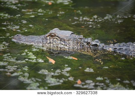 Face Of An Alligator Reflected Into The Swampy Waters.